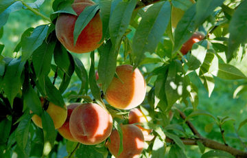 Roussanne peaches