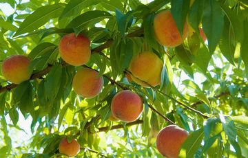 Roussanne peaches