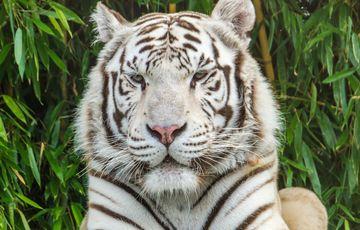 Zoo d'Asson - Tigre blanc venu d'Asie