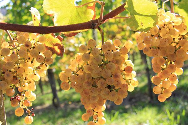 Vignoble du Jurançon en Cœur de Béarn