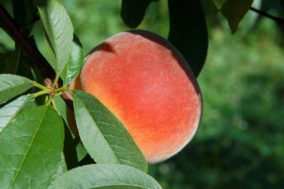 Roussanne peach