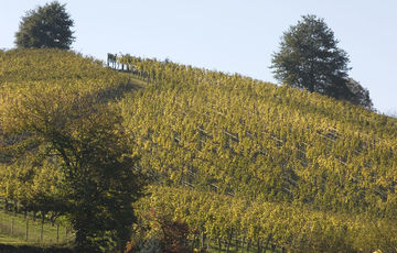 The Jurançon wineyard