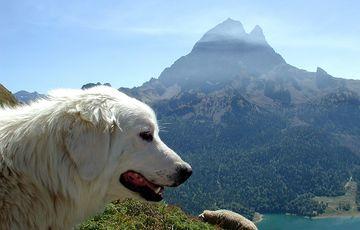 Patou des Pyrénées devant le Pic du Midi d'Ossau