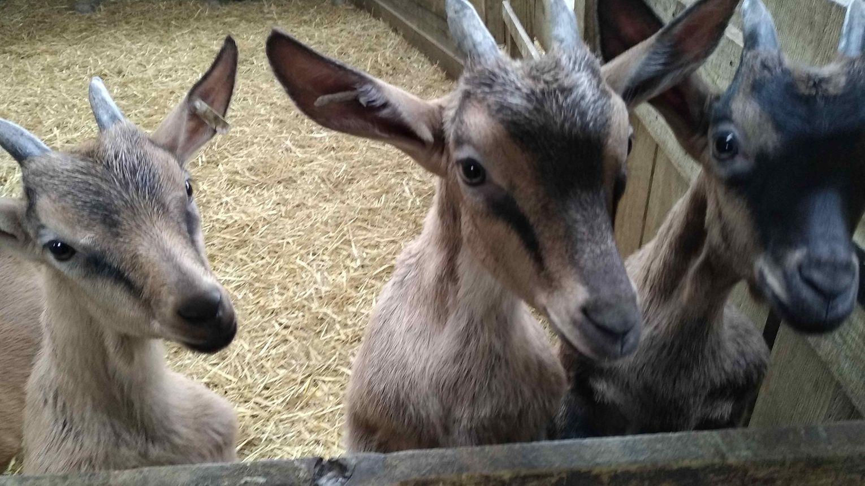 Les chèvres de Brassenx - CASTETIS