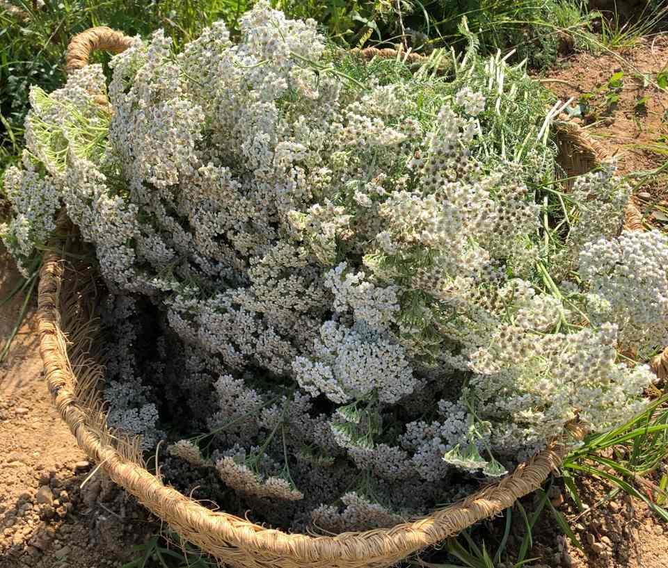 Plantes sauvages et bien-être - BAIGTS-DE-BEARN