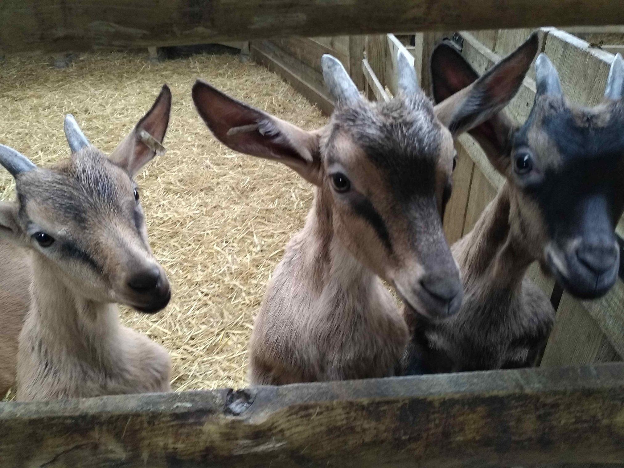 Rendez-vous à la ferme : Les chèvres de Brassenx - CASTETIS