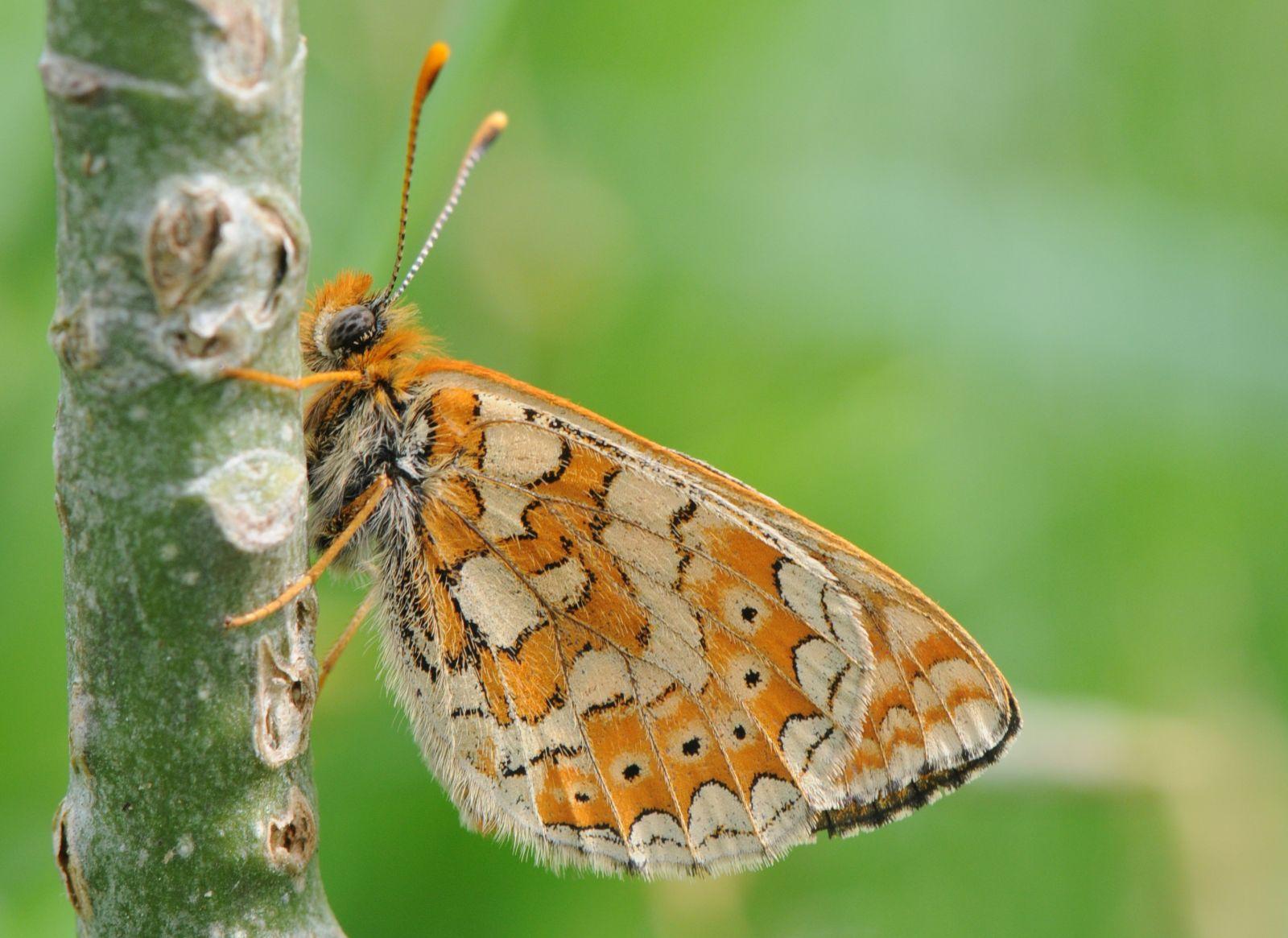 Camp de prospections papillons - MONEIN